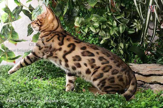 Покажите породу кошки которая Вам нравится?