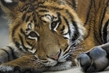 не подходите слишком близко , я тигрёнок а не киска :)