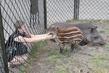 Маленький брат тапир