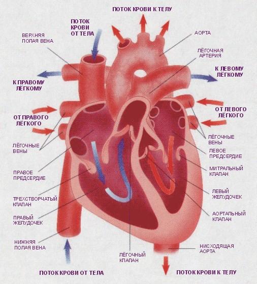 какое оно , ваше сердце ?