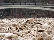 затор льда в реке огре 17.04.2013 (2)найди ворону