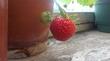 У кого-то на балконе цветы,а у нас клубничка ))