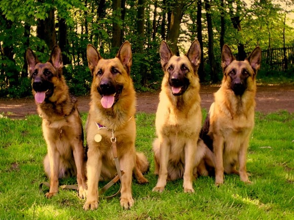 какой породы собаки вам нравятся?