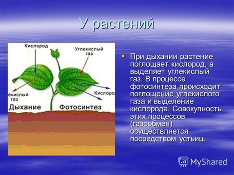 Правда ли, что комнатные растения ночью поглощают кислород?
