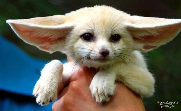 У кого самые большие уши?