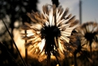 otcveli oduvanchiki.......