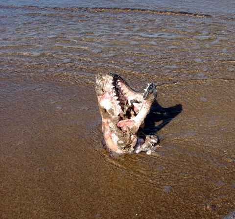 Болдерайская акула