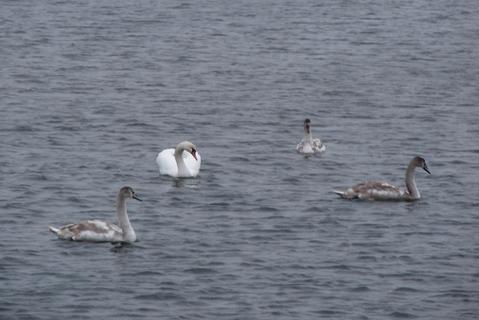 Мангальсала. Лебеди