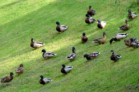 Скоро: Quack-quack-quack во всех парках