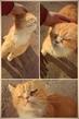 .злобный рыжий кот из соседнего подъезда оказался супер ласковым