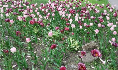 Нежёлтые тюльпаны, о-о-о...