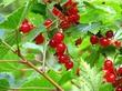 Ríbes rubrum - маленький листопадный кустарник.