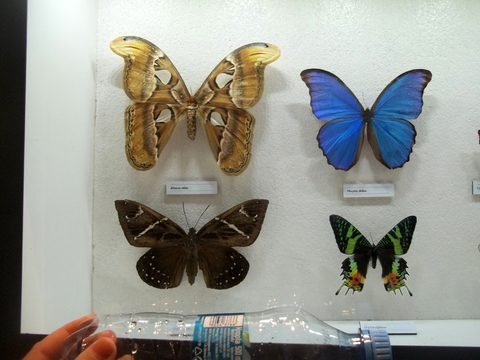 Morpho didius- сине-фиолетовая, размах крыльев 13 см.