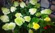 Hydrangea arborescens.