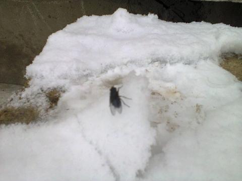 Первый снег. Муха. Вскарабкивается на сугроб.
