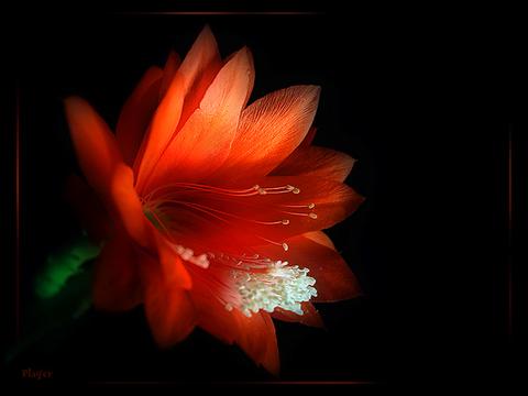 Покажите аленький цветочек?