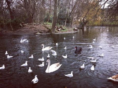Мы видели белых лебедей...