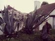 О_О Giant aloe vera plant..