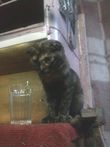 кошка сова