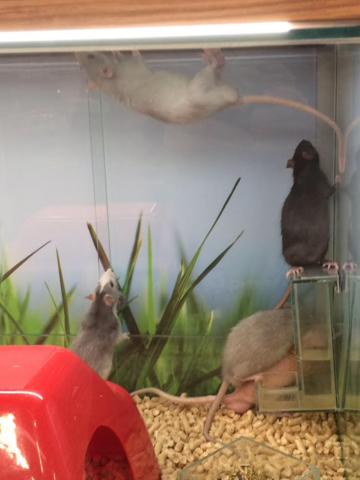 Любите крыс