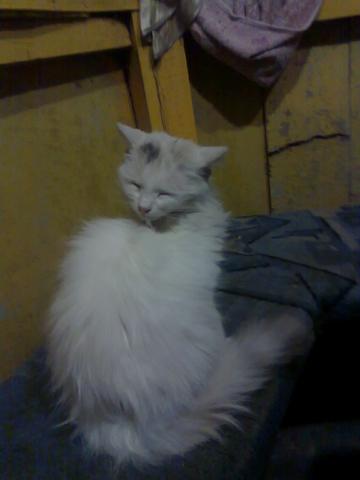 кошка аризона