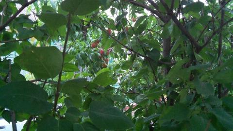 как украсть соседский персик