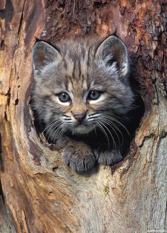 Покажите диких лесных котов?
