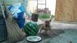 танец у арбуза. пуги буги буги