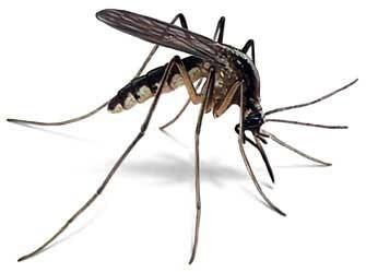 Покажите самое надоедливое насекомое